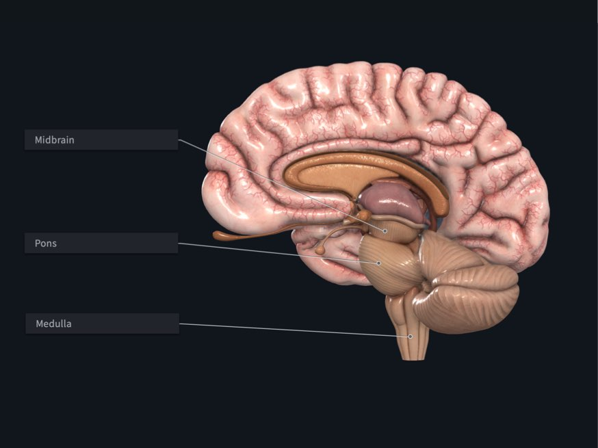 The midbrain, the Pons, and the Medulla labelled in Complete Anatomy