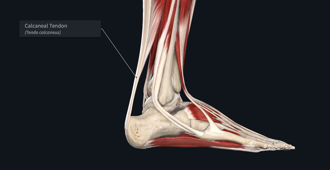 Calcaneal tendon