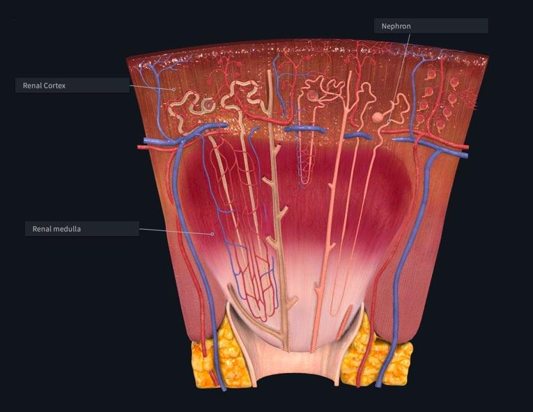 Kidney lobe