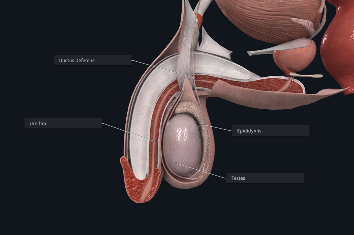 The male reproductive organs, labelled in Complete Anatomy