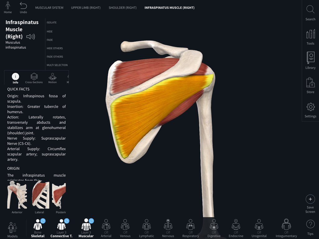 Infraspinatus muscle in Complete Anatomy