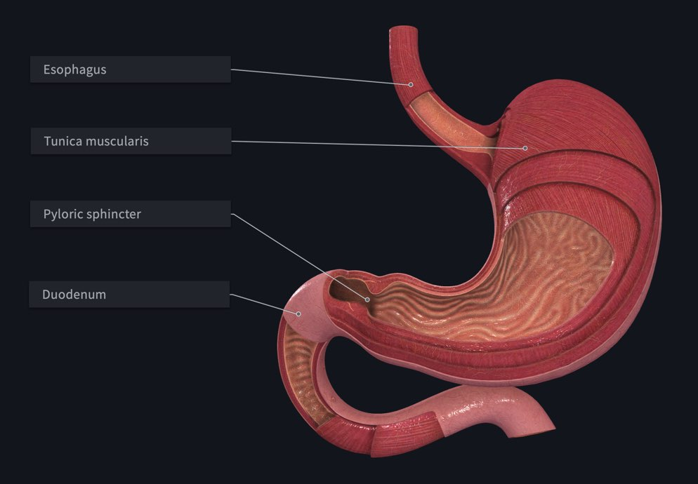 Structures of the stomach labelled in Complete Anatomy