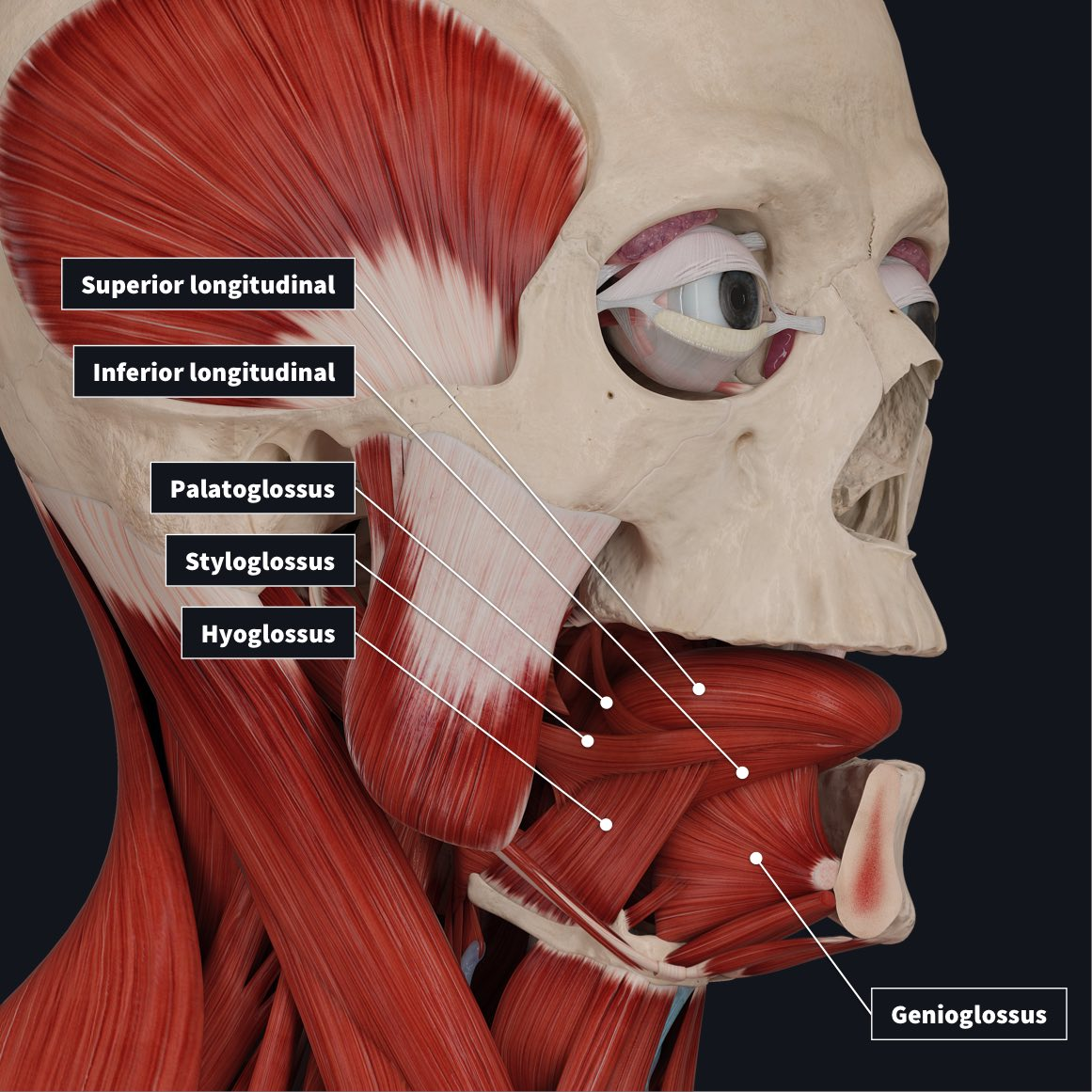 extrinsic muscles of tongue